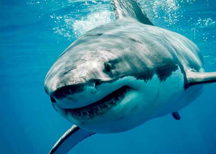 verdadero tamaño, tiburón, gigantesco, 20 metros,