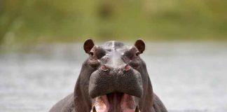 África, Kenia, furioso hipopótamo, turistas,