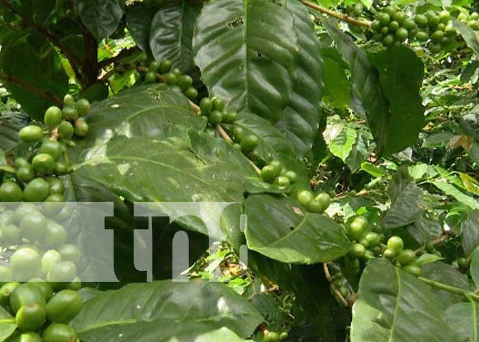 nicaragua, cafe, produccion, variedad, semilla, inta,