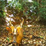 camboya, especie, ciervo, descubrimiento,