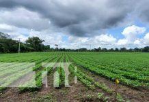 nicaragua, cultivo, produccion, frijol, cosecha,