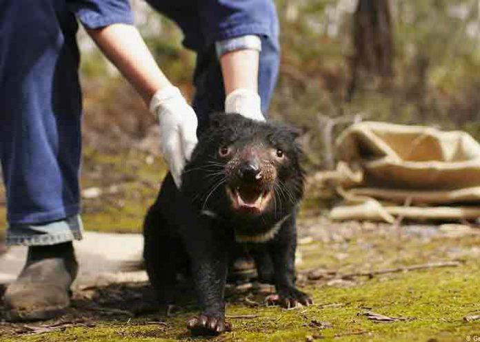 australia, demonios de tasmania, animales,