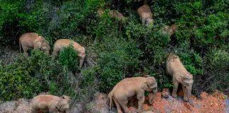 china, elefantes, manada, animales,