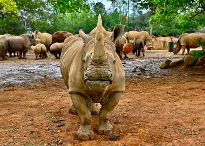 japon, rinoceronte, animales,