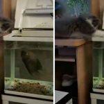 videos, gatos, tendencias, pelea, pez,