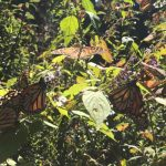 california, mariposas monarca, algodoncillo,