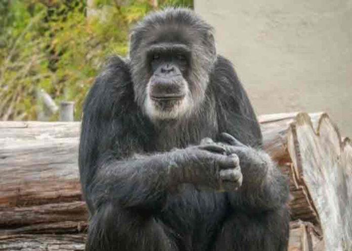 estados unidos, fallecimiento, cobby, chimpance,