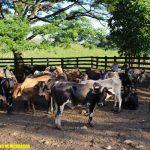 nicaragua, ganado, mulukuku,