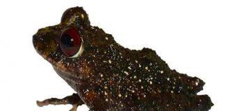 ecuador, nueva especie, rana, hallazgo,