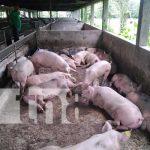 nicaragua, boaco, bono, porcinos, produccion,
