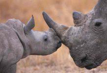 estados unidos, rinoceronte, animales,