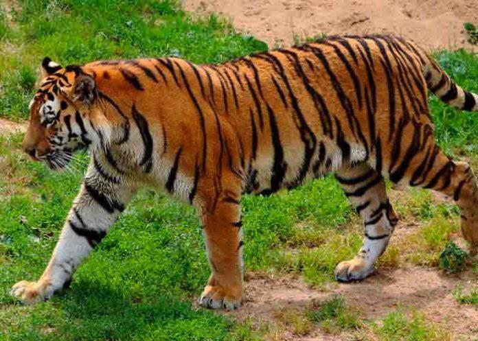 sudafrica, tigre, ataque, parque,
