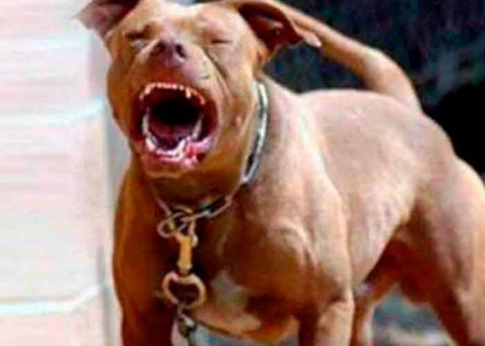 Foto: ¡Feroz ataque! Perro Pitbull mata a niño de tres años en México/Cortesía