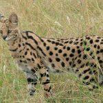 serval, especie, felino, buscando,