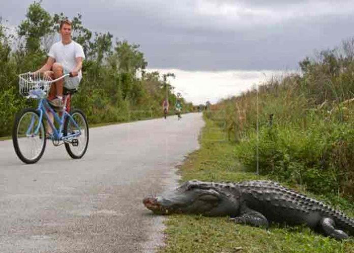 Un hombre de Florida herido tras ser atacado por un caimán