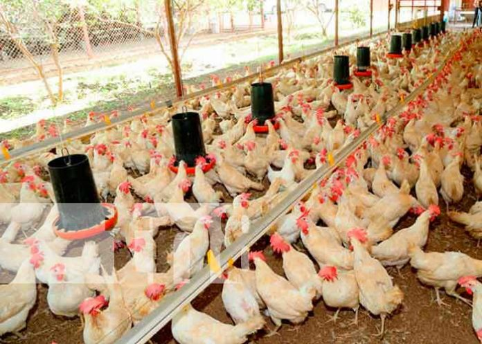 nicaragua, produccion avicola, economia,