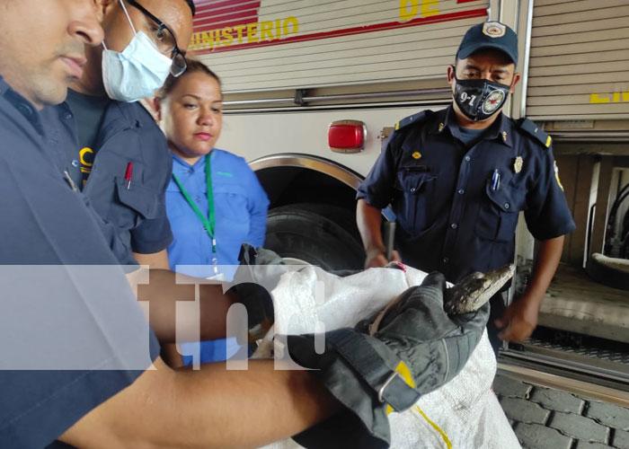 Foto: Entregan al MARENA caimán atrapado por pobladores en Managua / TN8