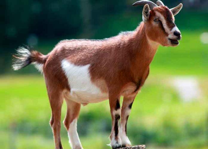 Foto: De terror: Una cabra camina en dos patas (Video)/Referencia