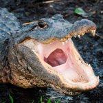 ¡Aquí se resuelve! Hombre se arriesga y usa la boca de un caimán para abrir una cerveza