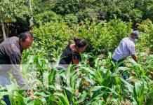 Imágenes de productores aporcando la siembra de maíz en Yalagüina / FOTO / TN8