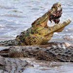 Adolescente es atacada por un cocodrilo en el Pacífico mexicano