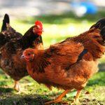 Foto: Médico recibe dos gallinas de agradecimiento por cirugía a ancianito / Referencia