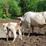 Ganado en Siuna, parte del programa de inseminación artificial