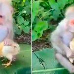 video, mono, pollo, viral