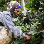 Producción del café en Nicaragua