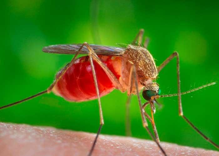 Mosquitos transmisores del virus del Nilo Occidental