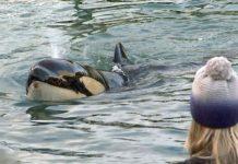 Foto: Muere orca bebé que buscaba a su madre / France24
