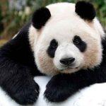 china, osos panda, dejan, peligro, extincion, autoridades,