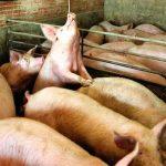 Alemania confirma peste porcina africana en tres granjas de cerdos