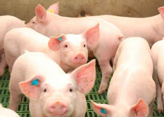 Alerta en Centroamérica y México por brote de peste porcina africana / FOTO / swissinfo
