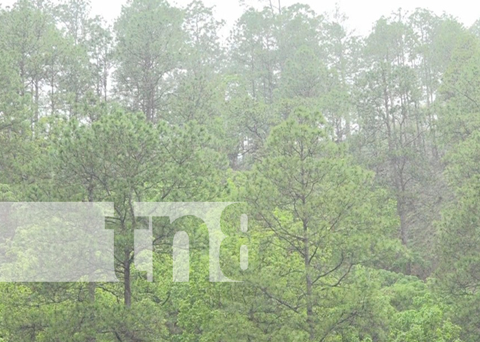 Imágen de bosque de pinos en el departamento de Nueva Segovia