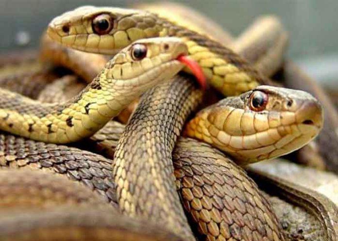 De muerte: mujer descubre 18 serpientes bajo su cama