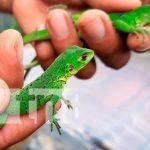 nicaragua, nueva segovia, zoocriaderos, iguanas,