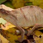 ciencia, descubrimiento, camaleon, nueva especie, caracteristicas