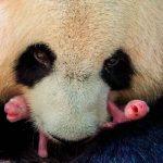 francia, pandas, nacimientos, bebes, gemelos