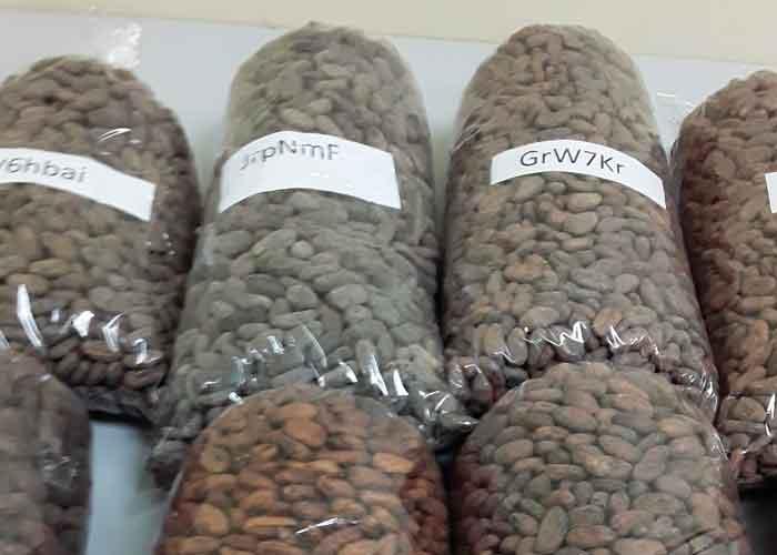 nicaragua, cacao, clasificacion, muestra, calidad