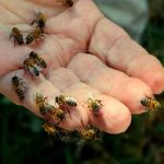 Anciano muere tras ataque de abejas en Puntarenas, Costa Rica