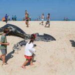 Enorme ballena jorobada aparece muerta en una playa de Brasil