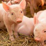 """¡Impactante imágenes ! Nace un """"aterrador"""" cerdito en una granja"""
