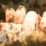 Los cerdos que han logrado reproducir gracias al programa de inseminación artificial
