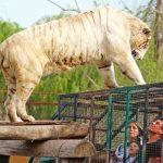 Chile: Trabajadora de un zoológico muere por el ataque de un tigre