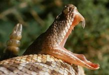 Extraña cobra de dos cabezas es encontrada en la India (FOTO)