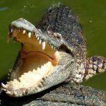 Un cocodrilo muerde y arrastra a su entrenadora hacia el agua / Imagen referencial / Pixabay