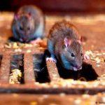 Estudio revela que variante Beta del COVID-19 afecta a ratones