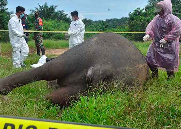 Encuentran decapitado a un elefante de Sumatra