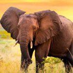Los elefantes son los más grandes de la tierra